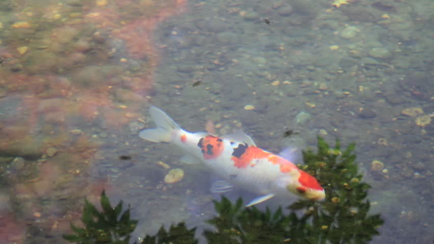 Tranquil Koi Fish Pond with Water Reflection of Trees and Plants in Fall in Japanese Garden 1080p - HD stock footage clip