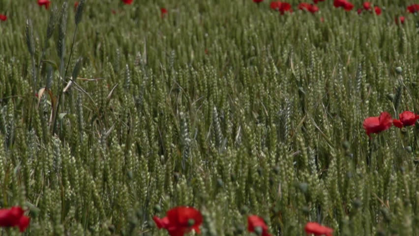 Green wheat field with poppies - HD stock video clip
