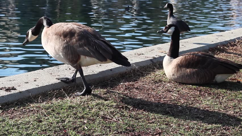 Geese sitting around by lake edge on a sunny day - One goose gets up and grooms itself. Echo Park Lake in Los Angeles California. Camera is stationary medium angle. - HD stock footage clip