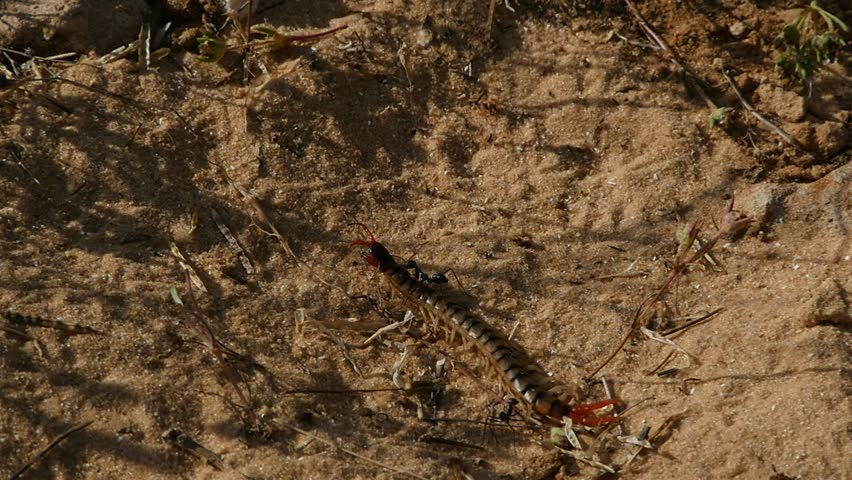slow motion of a big black ant dragging a dead centipede and a big black dung beetle running in the scene  - HD stock footage clip