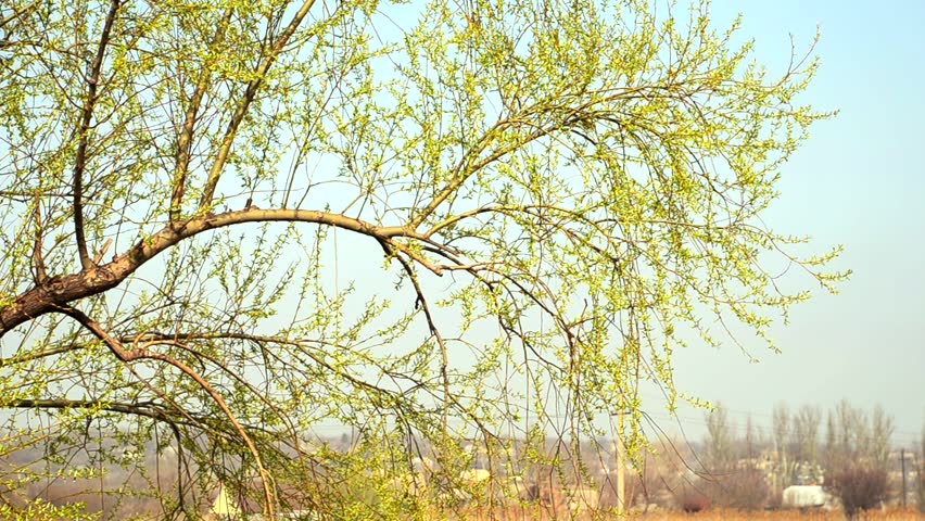 Tree branch with young leaves  on a background of a farm.