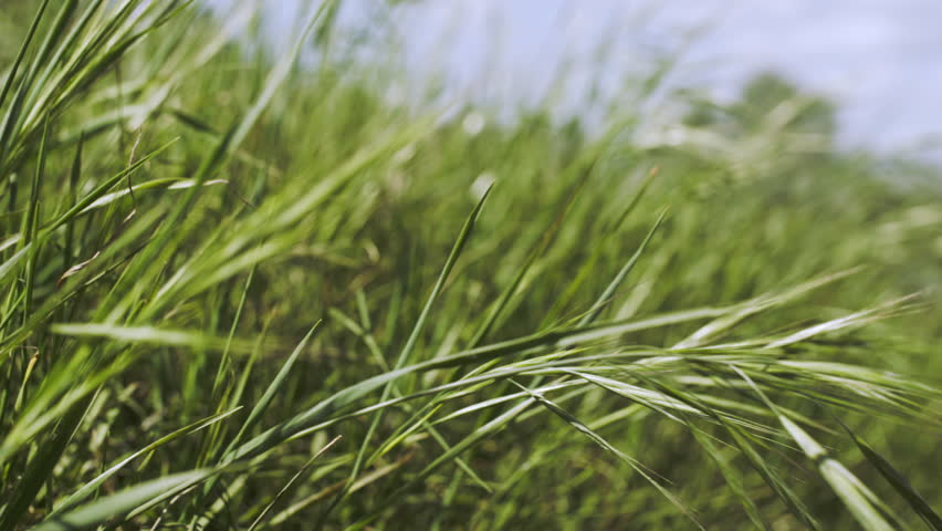 Long green grass blowing in the breeze: Los Angeles, CA, USA- March, 2016   Shutterstock HD Video #15759772