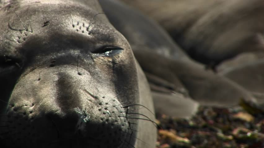 CU of the face of a dozing harbor seal - HD stock footage clip