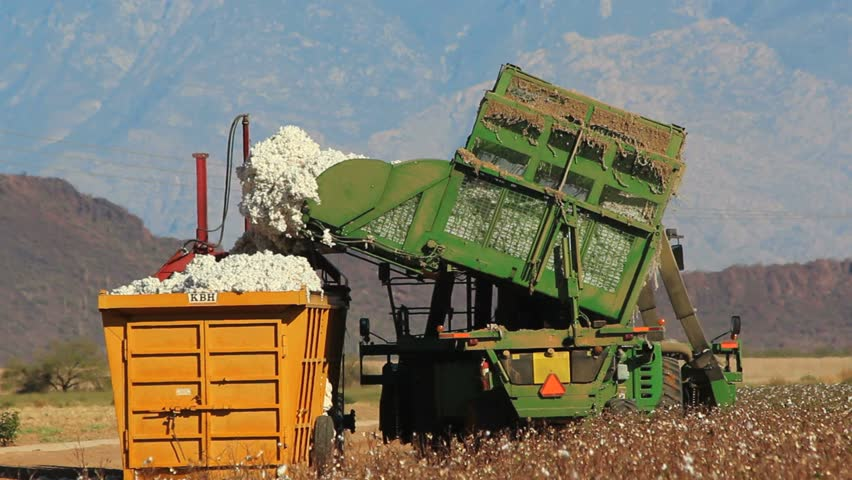 Mechanical harvester unloads cotton into compactor during harvest. 1080p