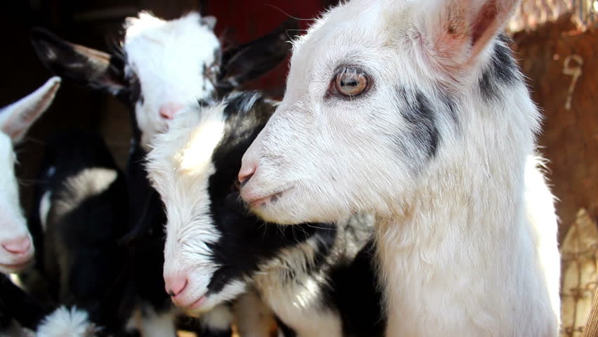 few young goatling on the farm. close up - HD stock video clip