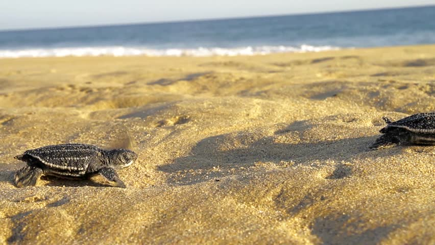 Small turtles going in to ocean