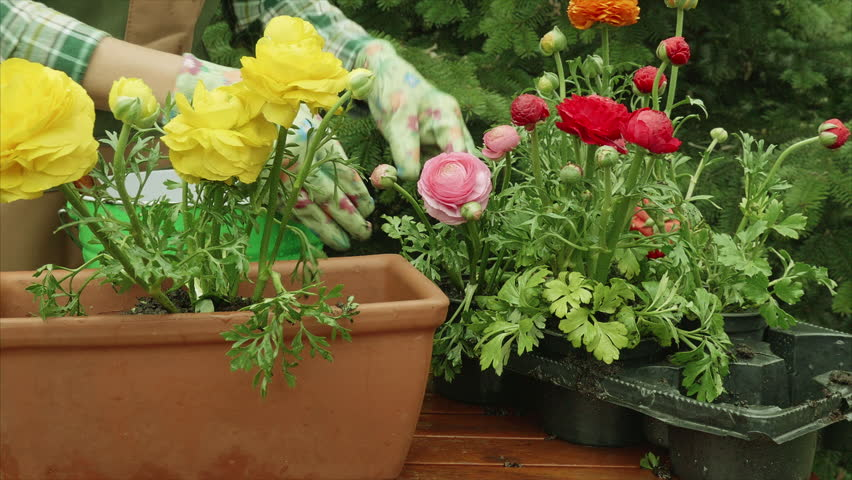 Close up of woman or gardener hands planting  to flower pot at  garden - HD stock video clip