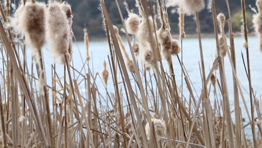 Dry reeds in the wind in early spring.  - HD stock video clip