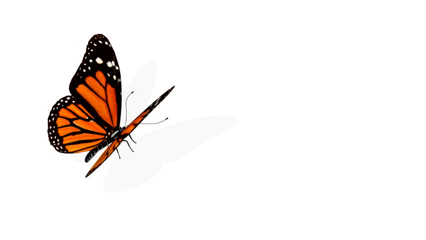 Butterfly animation - HD stock footage clip