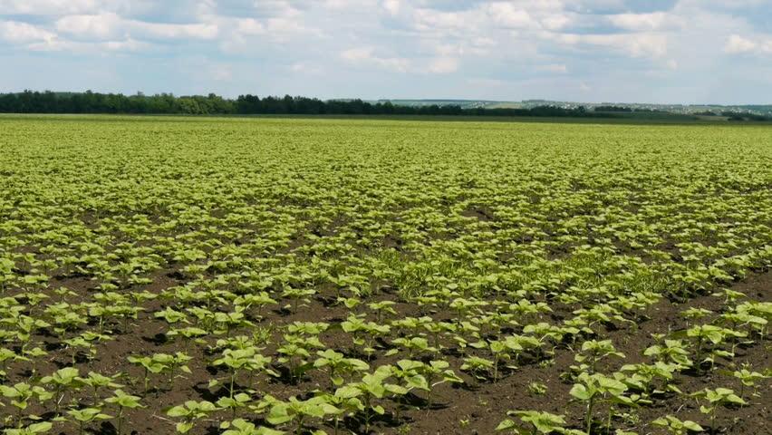 A field of sunflower seedlings - HD stock video clip