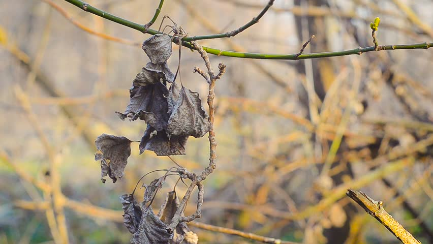 Dry autumn leaves on the branch with spring gentle leaves, buds and branches - HD stock video clip