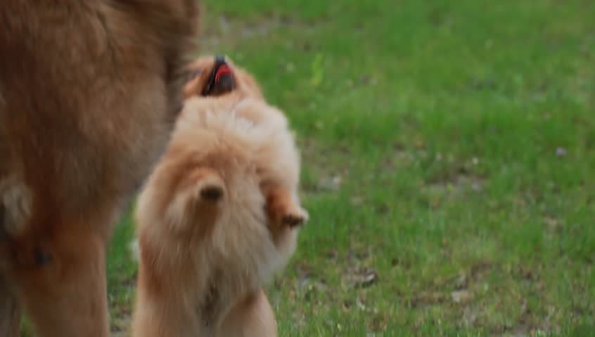 funny little fluffy dog jumping in the grass. Different breeds of dogs have asked to host a meal. Shepherd plays eared puppy.