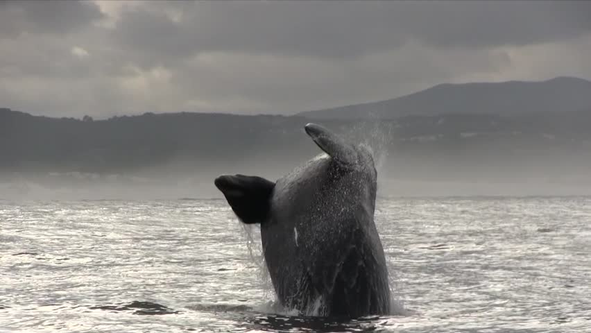 Southern Right Whale Breaching Filmed Close Up  | Shutterstock HD Video #16065331
