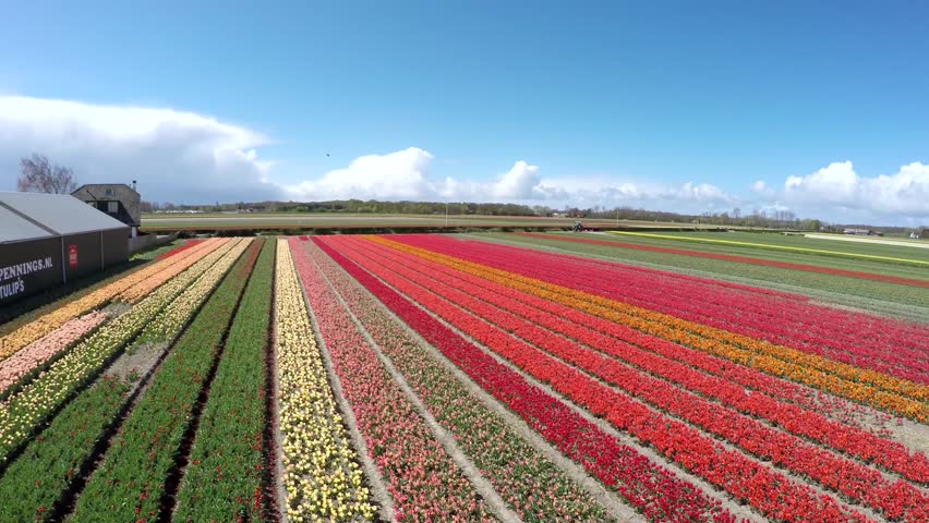 Aerial of tulip field moving stabilized fowards then moving higher and to other fields different colors on beautiful flower field in Lisse great tourist attraction Holland Netherlands 4k quality | Shutterstock HD Video #16146493