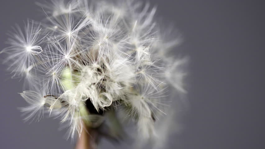 Dandelion flower in extreme close up UHD stock footage. A wild Dandelion head in true macro close up with a sliding camera move for a beautiful detailed background.