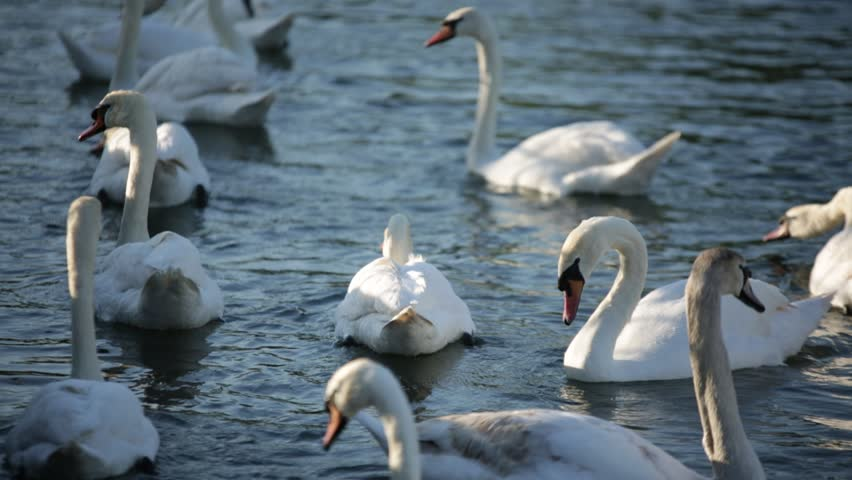 White swans - HD stock footage clip