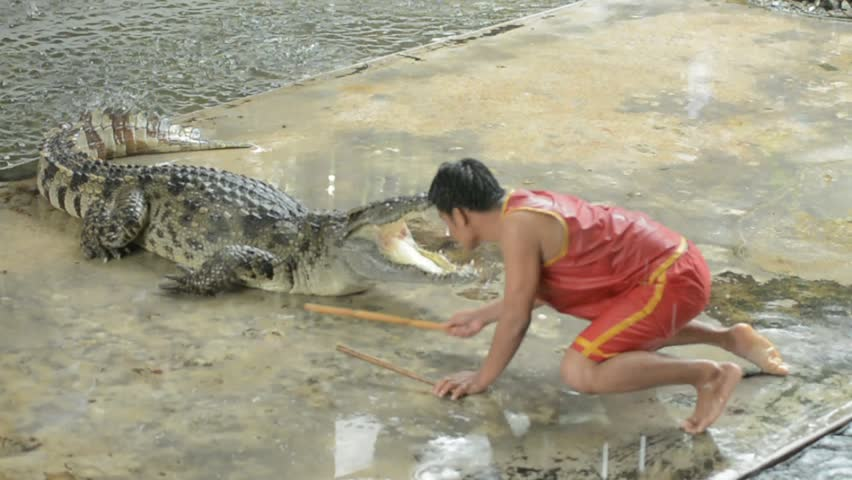 Crocodile Farm THAILAND  April 25 2015: There are daily crocodile shows, famous for the performers doing tricks such as putting their heads  - HD stock footage clip