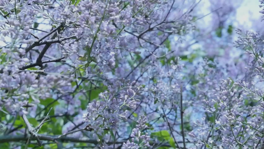 Pale Purple Flowers Swaying In The Wind Central Park Of Taganrog Russia Lilac