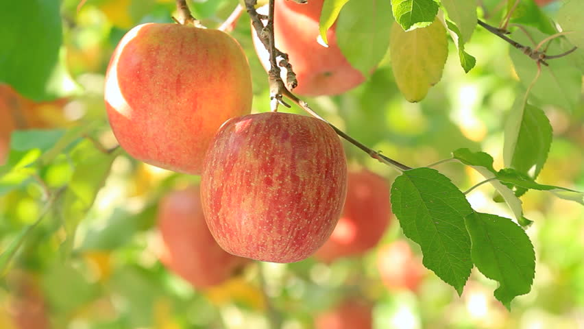 ripe apples hanging on a branch stock footage video