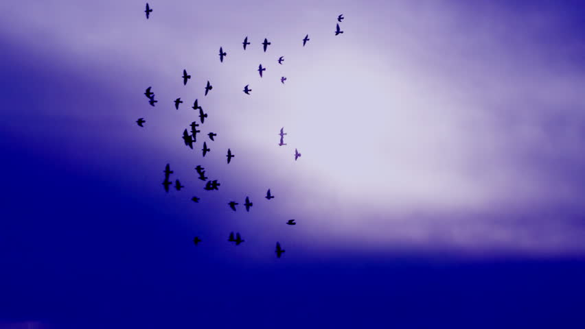 This is a beautiful natural video of Flying Flock Of Birds Doves In Cinematic Magic dark Violet Sunset Sky...You can use this video in your original projects or as websites background - HD stock video clip