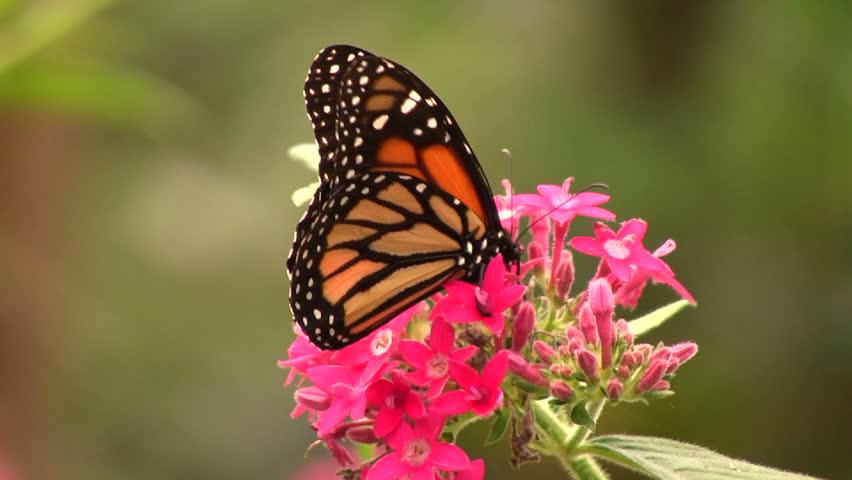 Monarch Butterfly (Danaus plexippus) - HD stock footage clip