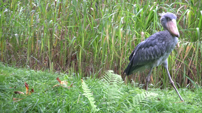 4k uhd Shoebill bird (Balaeniceps rex) also known as whalehead or shoe-billed stork walking in a green grass reed meadow at a sunny day. /  Shoebill bird walking green grass reed meadow sunny day | Shutterstock HD Video #16672921