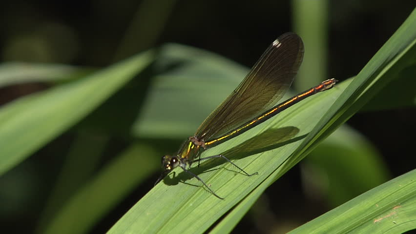 dragonfly green  - HD stock video clip