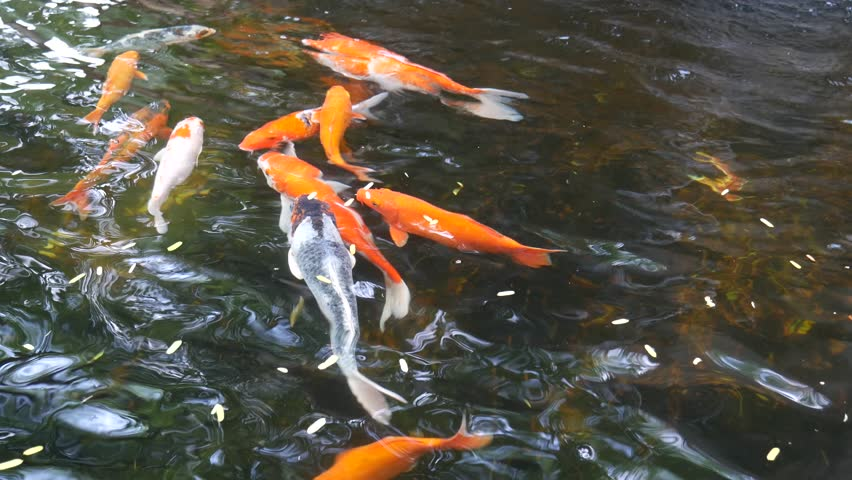 Close up of large japanese goldfish in a pool in tokyo Koi fish swimming pool