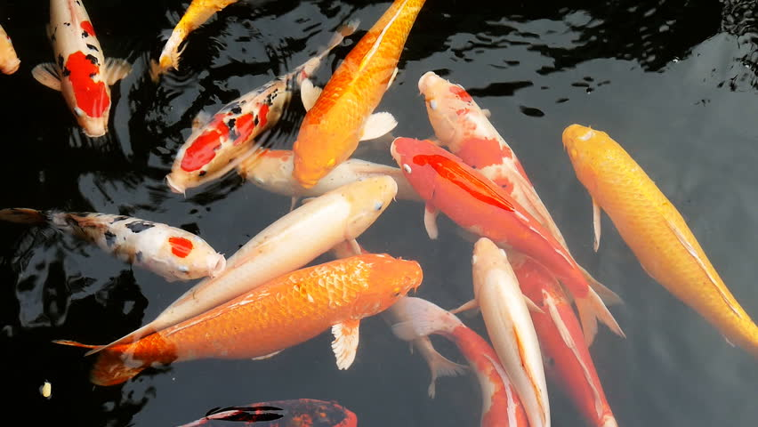 Koi, Fancy Carp are swimming in above  | Shutterstock HD Video #16721953