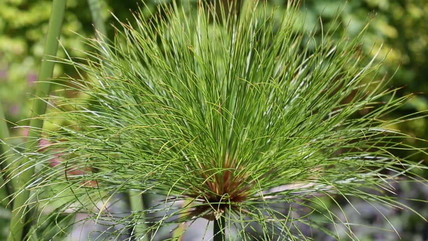 Cyperus papyrus definition/meaning