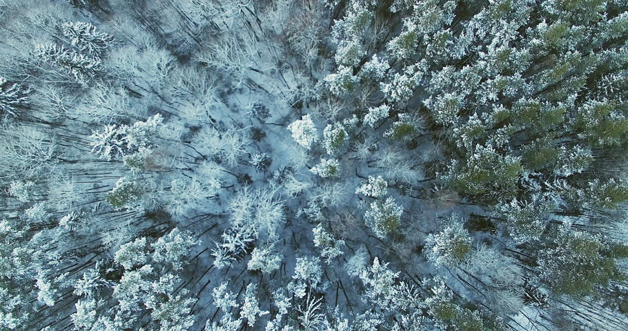 AERIAL. Smooth flight above top of winter forest trees covered by snow