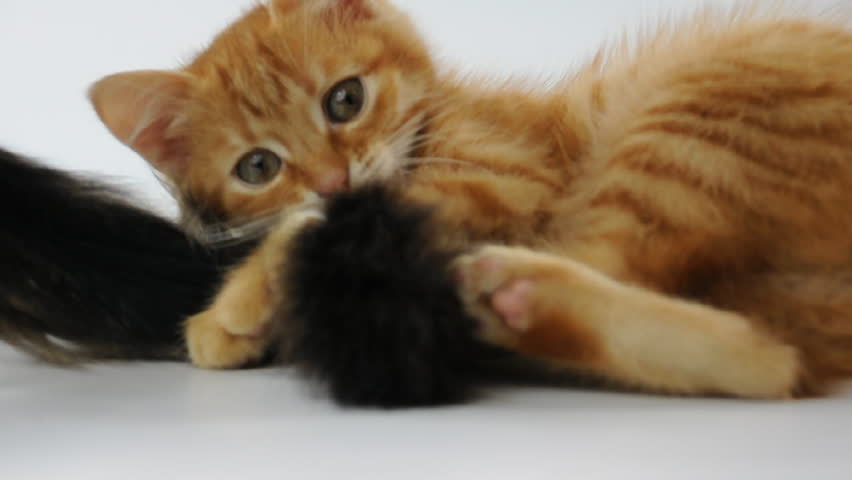 kitten playing with another cat's tail - HD stock video clip