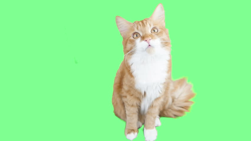 Cat turns his head to the side at the green screen | Shutterstock HD Video #16891180