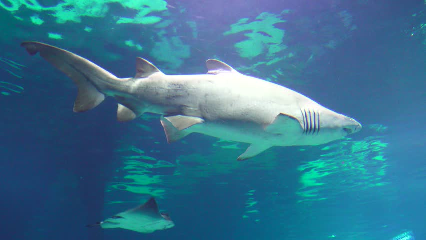 Sharks, large dogfish and other sharks plying the oceans - 4K stock footage clip