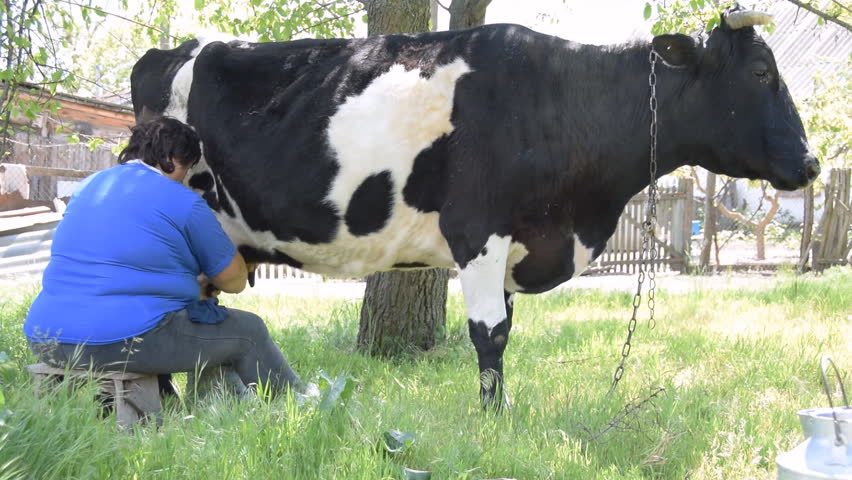 The woman milks the cow. Sunny day. Spotted cow and the milkmaid in the shade of the tree. Green grass. The breeze. The rural environment around. - HD stock video clip