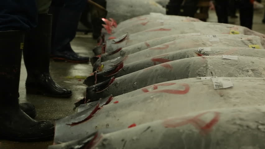 TOKYO, JAPAN - 2015: Tuna Auction at the Tsukiji Fish market.  Buyers inspecting tuna at the morning auction - HD stock footage clip