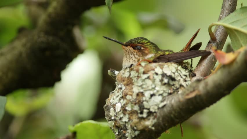 Hummingbird in the nest. Tiny bird in the nest sitting on eggs. Nesting bird in the tropic forest. Hummingbird in the nest in Costa Rica. Scintillant Hummingbird, Selasphorus scintilla, tiny bird.