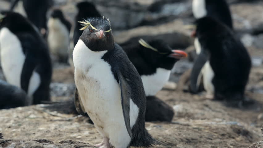 A close up of a Rockhopper penguin in Falkland Islands - HD stock video clip