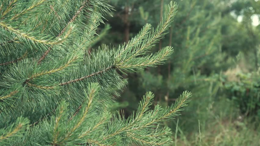 Forest Coniferous Young Tree - 4K stock footage clip