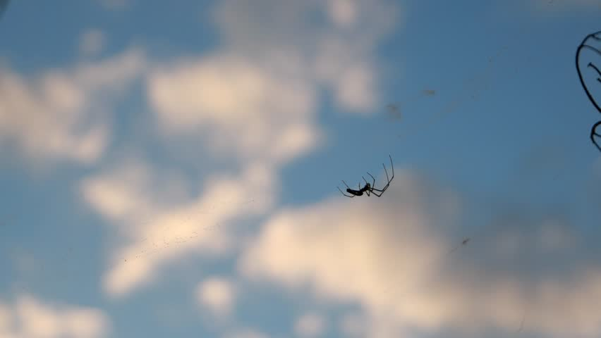 Spider hanging on a web against the sky with clouds. Dark spider weaves a web on background sky. unspoiled countryside, wildlife.