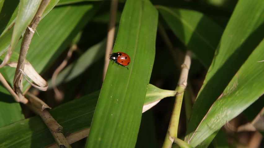 Ladybug walking on bamboo leafs. - HD stock footage clip