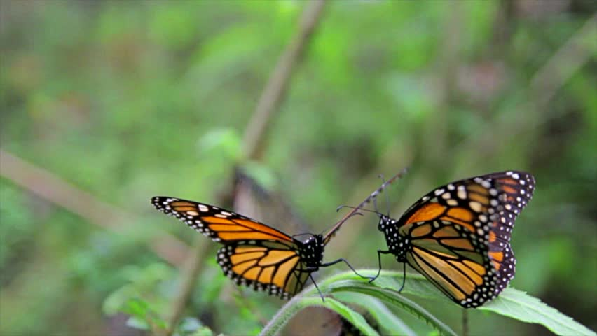 couple of butterflies doing courtship  - HD stock video clip
