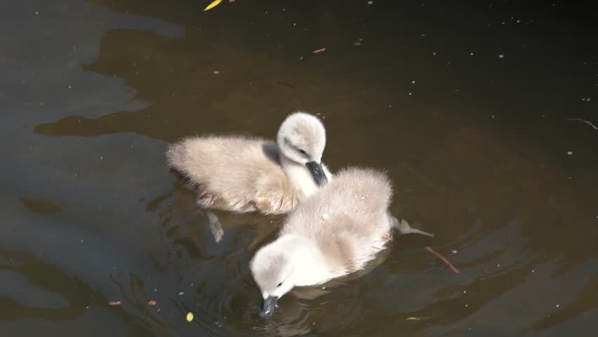 Baby swans - HD stock video clip