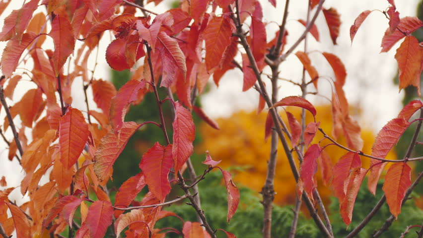 Colorful tree foliage in autumn - 4K stock footage clip