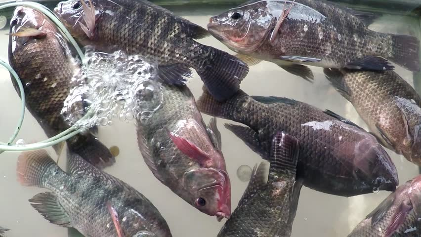 Closeup Of A Tilapia Fish Swimming Stock Footage Video