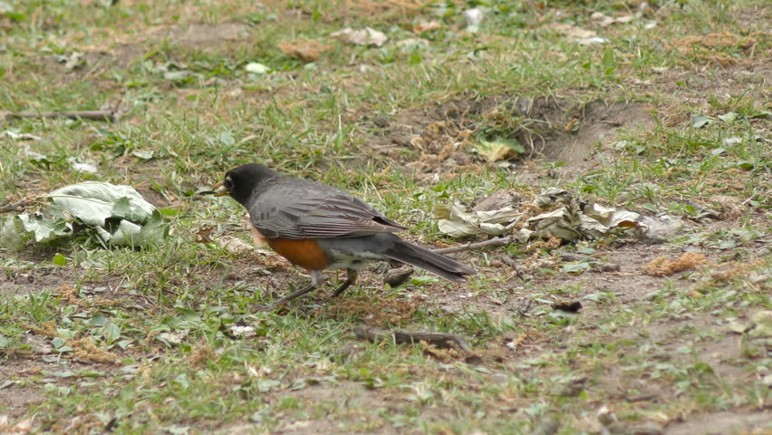 Header of American robin