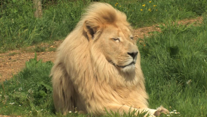 White Lion, king of the jungle. Handsome portrait of RARE white male lion, Pamthera leo, relaxing in the grass. - HD stock footage clip