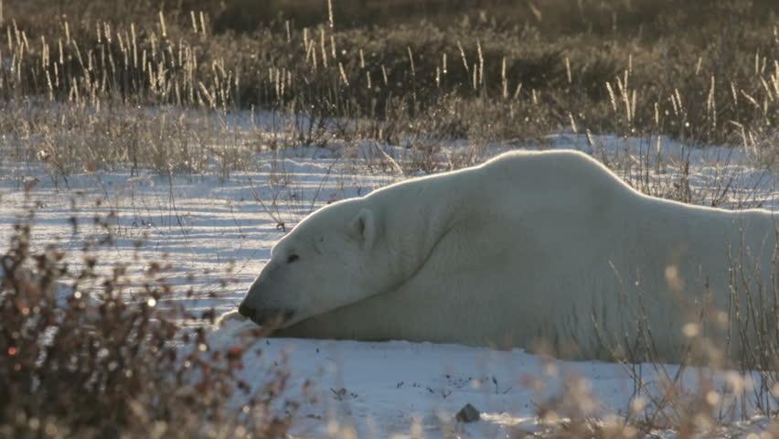 Polar bear in the nature Beautiful shot of Polar Polar bear in the snow    Shutterstock HD Video #17446678
