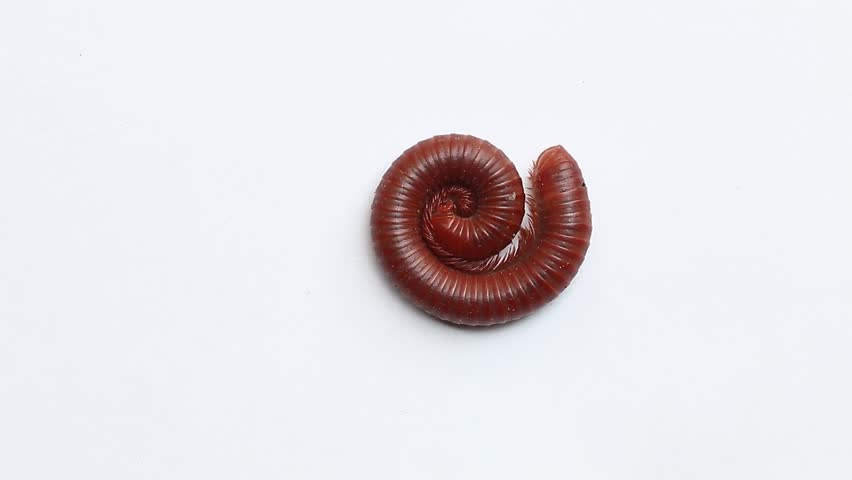 waking and walking millipede #17454868