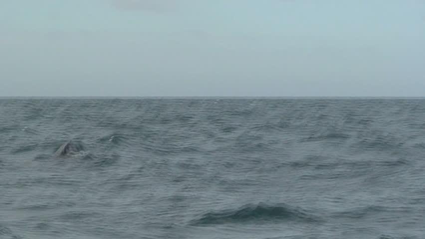 Orca - HD stock footage clip
